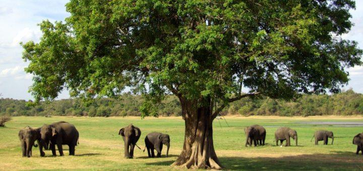 Image result for minneriya national park