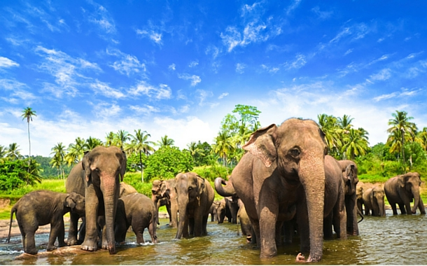 Image result for sri lanka elephants hd