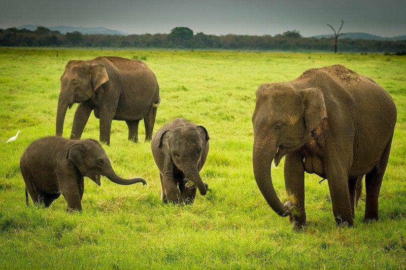 Image result for sri lanka elephants