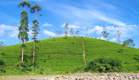 Image result for tea plantation nuwara eliya