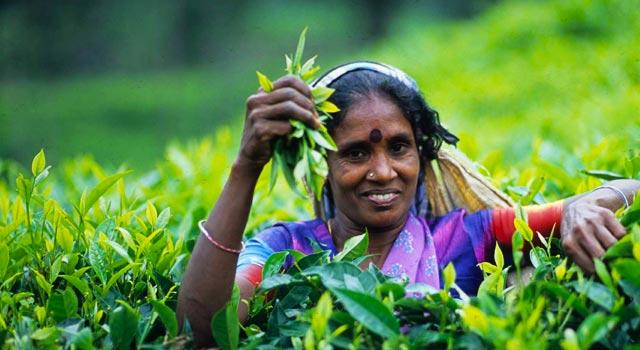 Image result for tea leaf plucking sri lanka