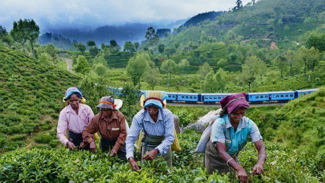 Image result for tea plantation sri lanka