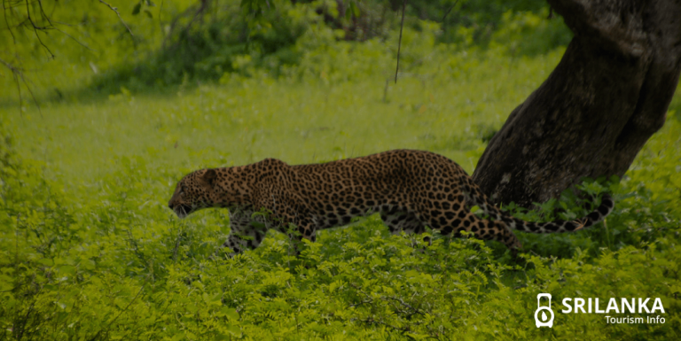 Things that make you fall in love with Yala National Park in Sri Lanka